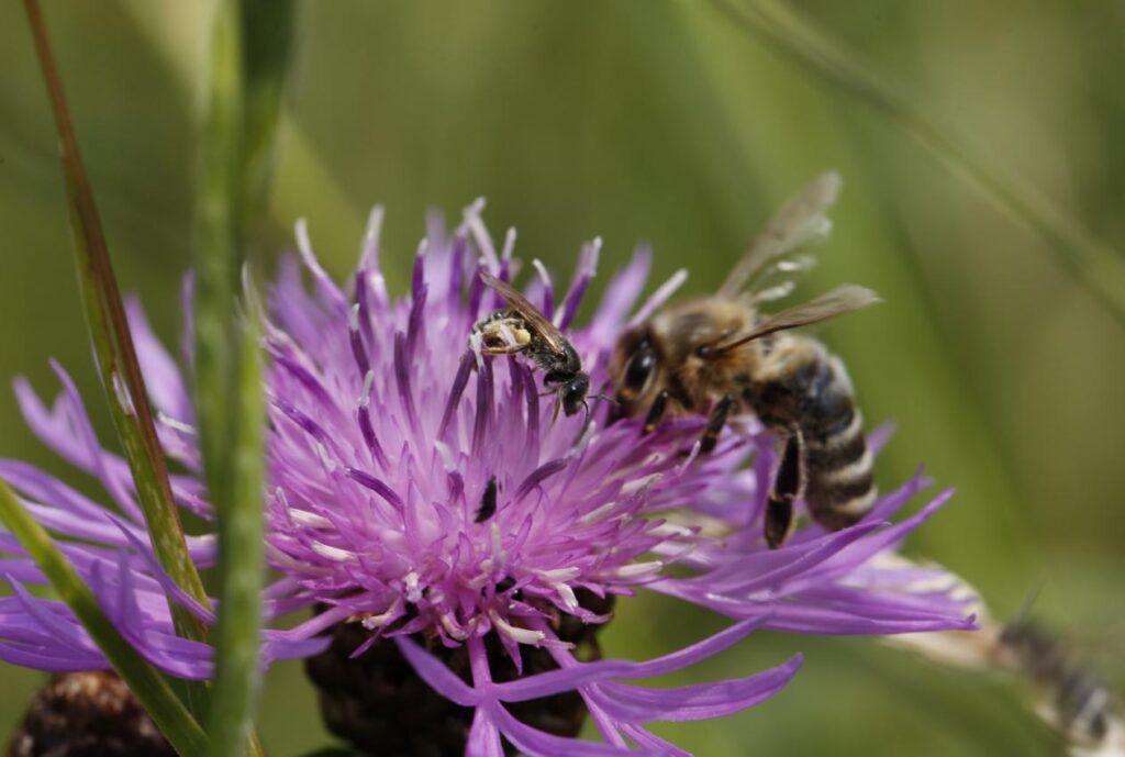 Ressourcenprojekt «Bienenfreundliche Landwirtschaft» zeigt bereits Wirkung