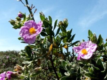 Die hoffnungsvolle Heilpflanze Zistrose
